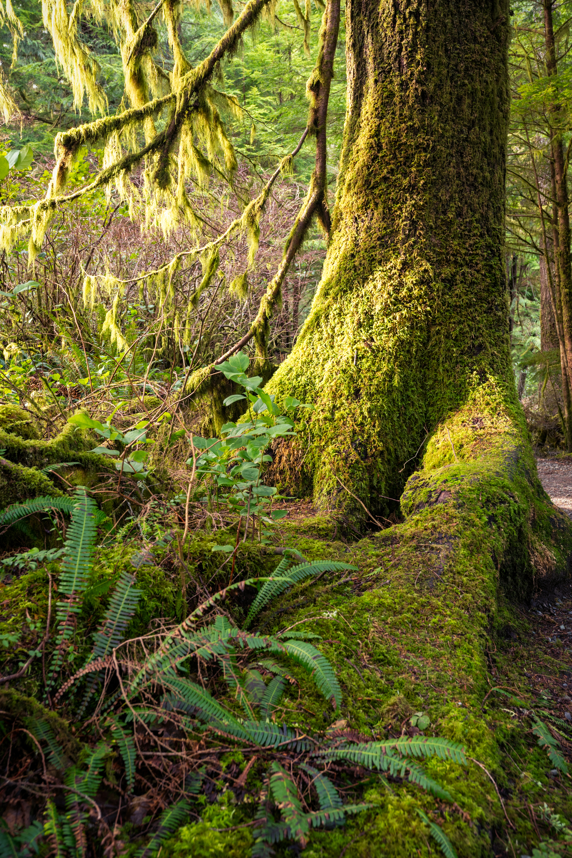 Moss laden trees and an old growth forest